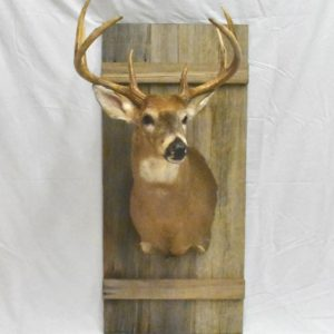 Barn door custom taxidermy mount.